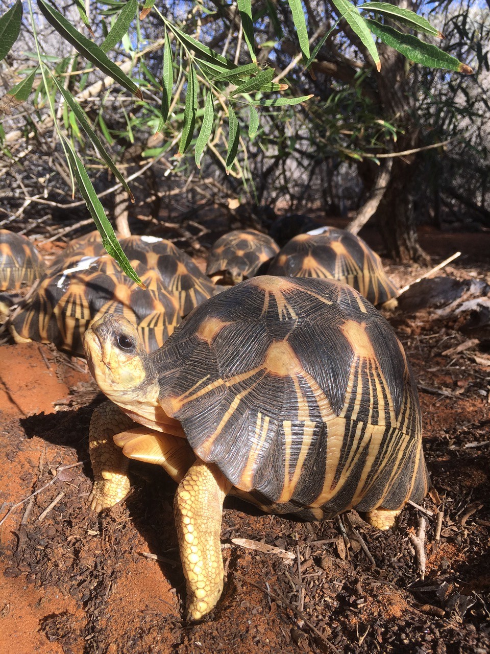 Soptom agit pour la protection des tortues rayonnées de Madagascar