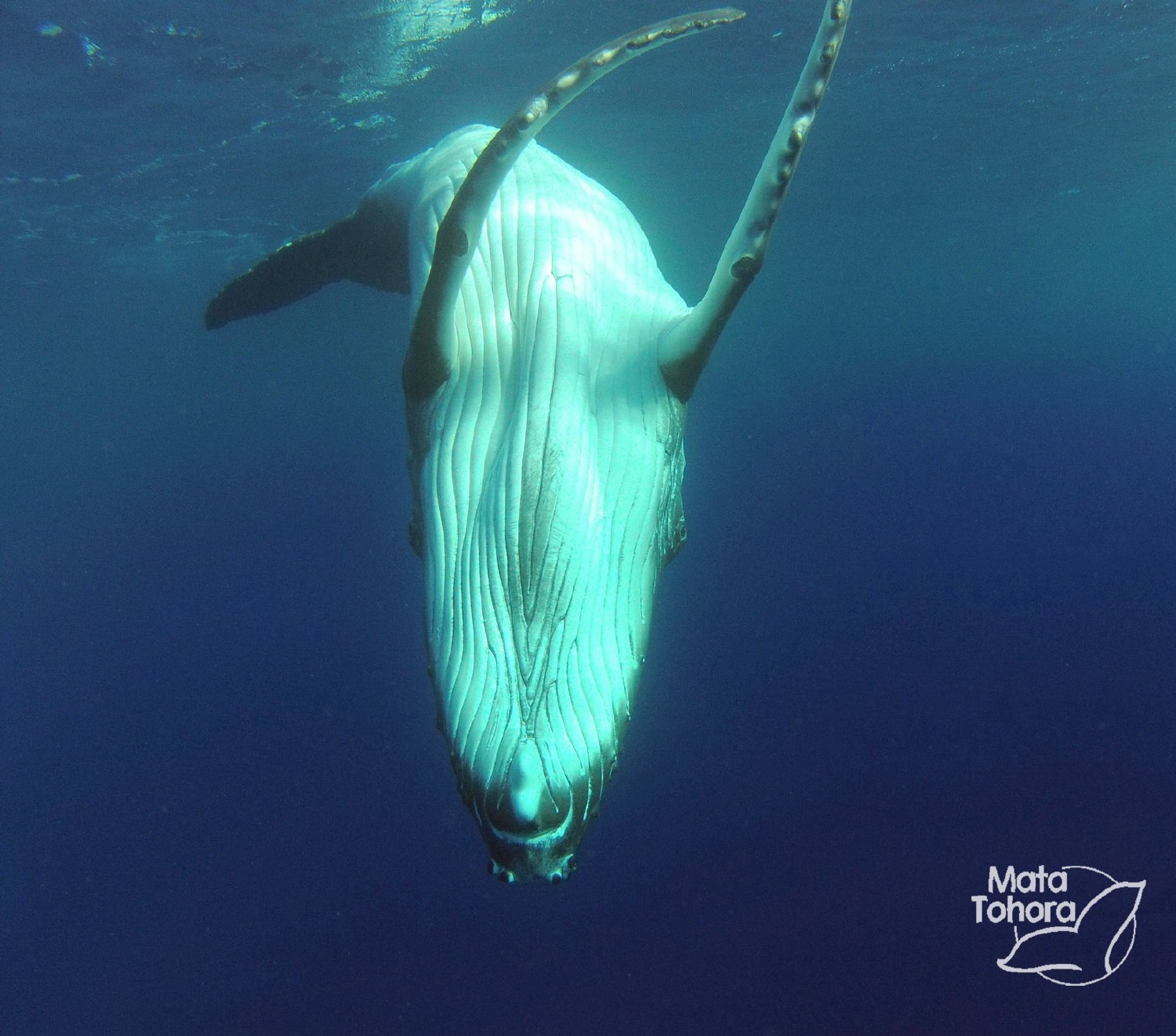 Mata Tohora protects humpback whales in French Polynesia